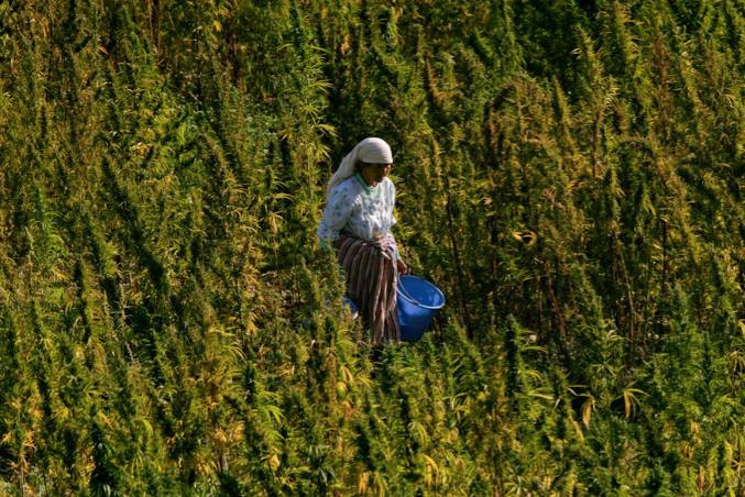 Morocco Remains World's Largest Cannabis Resin Exporter: UN Report